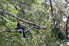 Hornbill (Bex.Walton) Tags: malaysia asia travel borneo sabah borneoecotours wildlife sukau kinabatangan kinabatanganriver hornbill birds