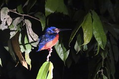 Kingfisher (Bex.Walton) Tags: malaysia asia travel borneo sabah borneoecotours wildlife sukau kinabatangan kinabatanganriver kingfisher birds