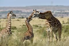 Family (rob kite) Tags: ngc freedom animals nature nairobi africa mother family baby giraffe masaimara