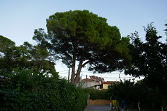Pine Tree (RobW_) Tags: pine tree driveway garden tsilivi zakynthos greece monday 30sep2019 september 2019