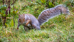 Squirrel (Photography - KG's) Tags: wildlifephotography wildlife squirrel reserve bird birds animals summerleys nature wildlifetrust