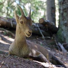 Bouquetin (Capra ibex) (bernarddelefosse) Tags: bouquetin capraibex animal mammifère parcdemerlet leshouches hautesavoie rhônealpes france