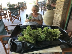 Harvesting Basil (RobW_) Tags: ritsa cleaning basil herbs pesto sauce freddiesbar tsilivi zakynthos greece wednesday 25sep2019 september 2019 diaryphoto mdpd2019 mdpd201909