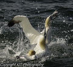 FEEDING GANNETS (kev_taylor_23) Tags: gannet feeding seabirds cliffs bempton yorkshire england