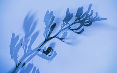 (Brett T) Tags: dualiso double exposure seed plant blue
