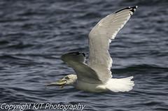 GOT ONE!!! (kev_taylor_23) Tags: gannet bird cliffs bempton yorkshire