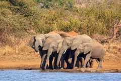 Lined up to drink (juanita nicholson) Tags: elephant elephants wildlife nature wild family group drinking waterhole southafrica dust outdoors trunks crocodile ngysaex
