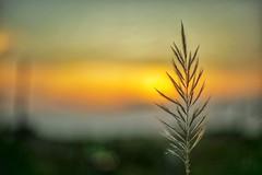 Kans Grass (rajib045) Tags: sunset kashful sky yellow canon canon5d canon5dm3 canon14 bangladesh magura