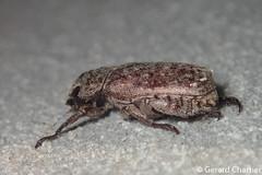 Adoretus sp. (GeeC) Tags: rutelinae scarabaeidae adoretus nature cambodia arthropoda tatai kohkongprovince insecta animalia coleoptera scarabaeoidea beetles scarabbeetles
