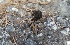"Lycosa Tarantula ""neomamma"" (ilpiubello) Tags: lycosatarantula tarantola ragno spider aracne arachne aracnide macro dof detail dettaglio newborns mamma mother"