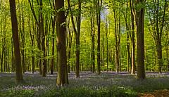 Spring, Micheldever, Hampshire, England (Oswald Bertram) Tags: bluebells englishbluebells jacinthesdesbois hyazinthen wildehyazinthen greatbritain uk countryside