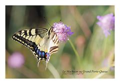 Le Machaon ou Grand Porte-Queue. (georges petit) Tags: machaon grandportequeue corse corsica insect insectes papillon