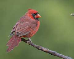 Northern Cardinal (Yer Photo Xpression) Tags: ronmayhew northerncardinal red bird nature coth5 sunrays5