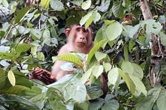 Cheeky monkey (Bex.Walton) Tags: malaysia asia travel borneo sabah borneoecotours wildlife sukau kinabatangan kinabatanganriver monkeys