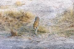 Leopard (pnjavery) Tags: leopard africa kruger safari