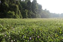 Weeds on the Kinabatangan (Bex.Walton) Tags: malaysia asia travel borneo sabah borneoecotours wildlife sukau kinabatangan kinabatanganriver