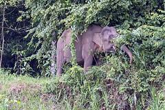 Pygmy elephant by the river (Bex.Walton) Tags: malaysia asia travel borneo sabah borneoecotours wildlife sukau kinabatangan kinabatanganriver pygmyelephant borneobigfive
