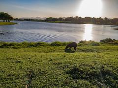 Mobile Photos (Allison de Castro) Tags: rural rj capivara brasil rio de janeiro moto g g7 100 anos universidade ufrrj pôr do sol sunset capybara