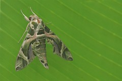 Oleander Hawk-Moth - Daphnis nerii (Phasmomantis) Tags: oleander hawkmoth daphnis nerii sensational butterflies the london natural history museum insect macro close up pentax tamron asia uk africa europe wildlife nature green leaf