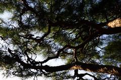 DSC09639 (Zengame) Tags: kyufurukawagardens rx rx1 rx1r sonydscrx1rsonnart235 sonnart235 sony zeiss garden gardens japan tokyo ソニー ツアイス 庭園 日本 旧古河庭園 東京 東京都
