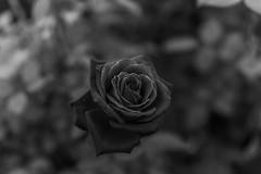 DSC09633-2 (Zengame) Tags: kyufurukawagardens rx rx1 rx1r sonydscrx1rsonnart235 sonnart235 sony zeiss garden gardens japan tokyo ソニー ツアイス 庭園 日本 旧古河庭園 東京 東京都