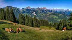 Wispile bei Gstaad I (stega60) Tags: switzerland schweiz lasvizzera lasuisse suiza gstaad wispile kühe cows sky himmel mountains berge tannen bäume trees hdr pano panorama stiched stega60