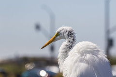 Great Egret (charlee955) Tags: california southerncalifornia socal 캘리포니아 미국 미국서부 huntingtonbeach bolsachica bolsachicaecologicalreserve greategret egret bird birds