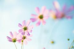DSC05524 (Keishi Etoh rough-and-ready photoglaph) Tags: sony a7ⅱ sonya7ⅱ 35mmfullframe ilce7m2 sonyilce7m2 olympusomsystemgzuikoautos50mmf14 olympus 50mm mf manualfocuslens primelens fixedfocallengthlens oldlens om ommount 単焦点 標準 flower