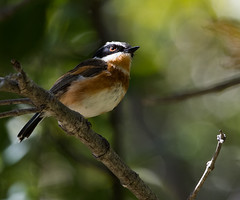 Cape Batis (Batis capensis)-3738 (Dave Krueper) Tags: africa aves batis bird birds caba landbird passeriformes passerine platysteiridae southafrica