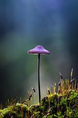 Tall and graceful (Olof Virdhall) Tags: forrest autumn beautiful graceful tall mushroom canon eos5 mkiii olofvirdhall