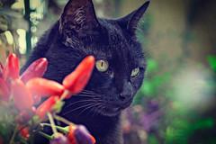 Pepe (Pepenera) Tags: cat cats blackbeauty blackcat feline portrait pets petsphotography fotografia canon eos