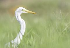Great egret. Ardea alba (okiox) Tags: egret great okinawa bird animal ardeaalba field heron beak asia japan white blur bokeh grass soft nikon d500 winter migratory