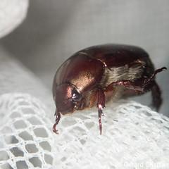 Anomala sp. (GeeC) Tags: rutelinae scarabaeidae cambodia nature animalia arthropoda tatai kohkongprovince insecta coleoptera scarabaeoidea anomala beetles scarabbeetles