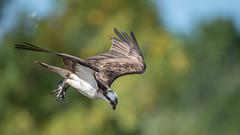 Game on (Paul McGoveran) Tags: bif bird birdinflight hendrievalley nature nikon500mmf4 nikond500 nikond850 osprey raptor wings coth5