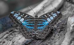 Blue clipper butterfly (Torok_Bea) Tags: parthenossylvia butterfly bluebutterfly pillangó lepke beutiful lovely nikon sigma nikond7200 d7200 sigma105mm natur nature macro macroshot bokeh wonderful color clipperbutterfly clipper október autumn lepidoptera amazing awesome beautiful lovenatur blue blueclipper