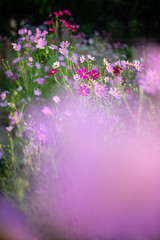 DSC05549 (Keishi Etoh rough-and-ready photoglaph) Tags: sony a7ⅱ sonya7ⅱ 35mmfullframe ilce7m2 sonyilce7m2 olympusomsystemgzuikoautos50mmf14 olympus 50mm mf manualfocuslens primelens fixedfocallengthlens oldlens om ommount 単焦点 標準 flower