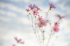 DSC05532 (Keishi Etoh rough-and-ready photoglaph) Tags: sony a7ⅱ sonya7ⅱ 35mmfullframe ilce7m2 sonyilce7m2 olympusomsystemgzuikoautos50mmf14 olympus 50mm mf manualfocuslens primelens fixedfocallengthlens oldlens om ommount 単焦点 標準 flower