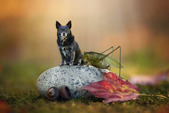 Knee-High to a Grasshopper 40/52 (Boered) Tags: chico dog grasshopper leaf rock acorn moss autumn tiny composite 52weeksfordogs littledoglaughedstories