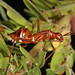 Broad-headed Bug, Occoquan Bay National Wildlife Refuge, Woodbridge, Virginia