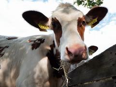 Boe (Ingrid Philips) Tags: koe cow fauna dieren wandeling boerderij farm animal vee cattle