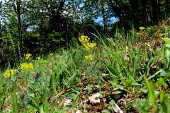 Euphorbia cyparissias  L.  Zypressen-Wolfsmilch Cypress Spurge (Spiranthes2013) Tags: pflanze plant euphorbiacyparissias zypressenwolfsmilch cypressspurge 2019 becker nature natur euphorbiacyparissiasl deutschland germany lowerfranconia unterfranken lkmiltenberg bayern bavaria mömlingen bas rosiden rosids eurosiden eurosids malpighienartige malpighiales wolfsmilchgewächse euphorbiaceae wolfsmilch euphorbia plantae plants angiospermen angiosperms eudicots eudicosiden 63853