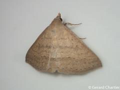 Gesonia obeditalis