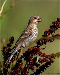 House Finch (Haemorhous mexicanus) (Steve Arena) Tags: housefinch haemorhousmexicanus heirloomharvest heirloomharvestcsa westborough westboro worcestercounty massachusetts 2019 nikon d750 bird birds birding