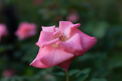 DSC09646 (Zengame) Tags: rx rx1 kyufurukawagardens japan gardens zeiss garden tokyo sony 日本 東京 庭園 旧古河庭園 ソニー ツアイス sonnart235 rx1r sonydscrx1rsonnart235 東京都