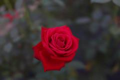 DSC09633-3 (Zengame) Tags: kyufurukawagardens rx rx1 rx1r sonydscrx1rsonnart235 sonnart235 sony zeiss garden gardens japan tokyo ソニー ツアイス 庭園 日本 旧古河庭園 東京 東京都