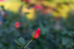 DSC09631 (Zengame) Tags: kyufurukawagardens rx rx1 rx1r sonydscrx1rsonnart235 sonnart235 sony zeiss garden gardens japan tokyo ソニー ツアイス 庭園 日本 旧古河庭園 東京 東京都
