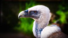 Geier (jj-w8) Tags: noperson geier colourful animal animalphotographie junghanns germany nature homepage bird natur raubvogel canon outdoor vogel