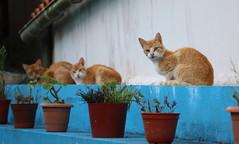 Ginger trio (Raffa2112) Tags: gatti cats vasidifiori pottedflowers azzurro biancoeazzurro blue bluewhite gingercats canoneos750d raffa2112