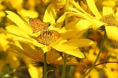 Fiery Skipper (annette.allor) Tags: hylephilaphyleus fieryskipper butterfly insect