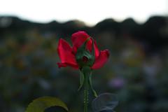DSC09649 (Zengame) Tags: kyufurukawagardens rx rx1 rx1r sonydscrx1rsonnart235 sonnart235 sony zeiss garden gardens japan tokyo ソニー ツアイス 庭園 日本 旧古河庭園 東京 東京都